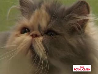 gatitos royal canin