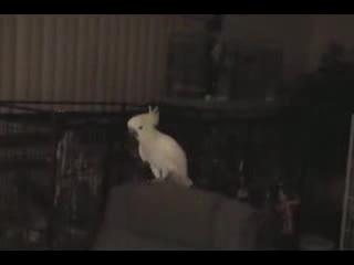 Cockatoo-BN